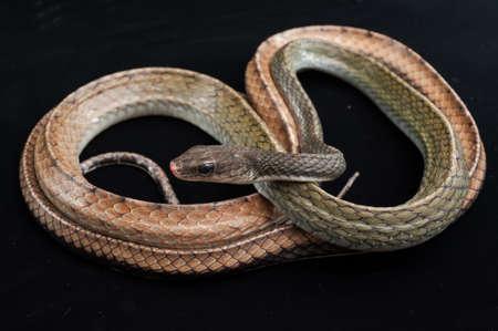 and diurnal: Snake shot in studio Stock Photo