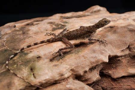 viviparous lizard: Lizard Looking out on a Rock