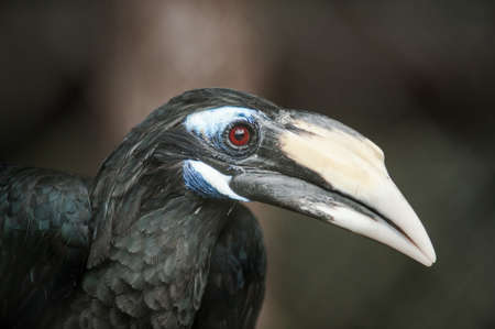 Bushy-Crested Hornbill, closeup in the zoo photo