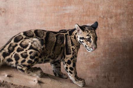 clouded: Clouded Leopard Cub
