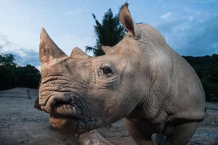 rhino: Two white rhino are close up in twilight