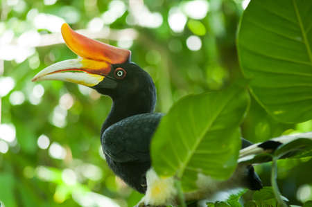 largest tree: Rhinoceros Hornbill (Buceros rhinoceros) in Southern, Indonesia Stock Photo
