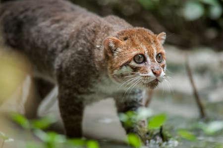 Flat-headed Cat Stock Photo