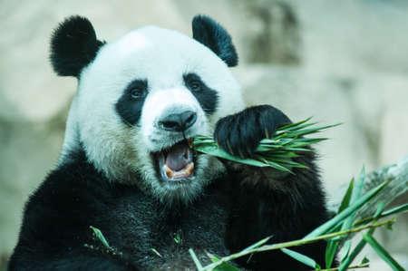 Hungry panda g�ant manger bambou