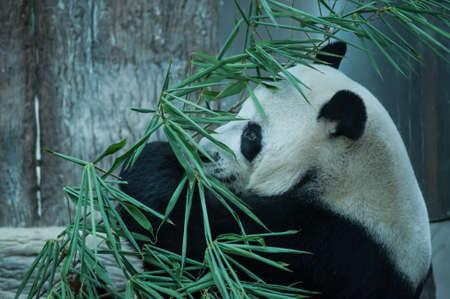 Hungry giant panda eating bamboo photo