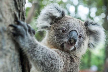 australian koala sit on tree, Sydney, NSW, australia. exotic iconic aussie mammal animal with infant in lush jungle rainforest 写真素材