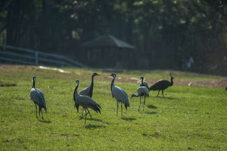 tal: A flock of Demoisille cranes in the zoo, Thailand