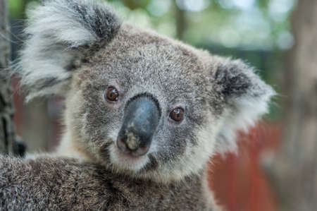 australia jungle: australian koala sit on tree, Sydney, NSW, australia. exotic iconic aussie mammal animal with infant in lush jungle rainforest Stock Photo
