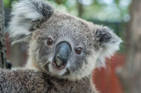 furry animal: koala australiano se sientan en �rbol, Sydney, NSW, Australia. ex�tico emblem�tico animal australia mam�fero con beb� en la exuberante selva tropical de la selva