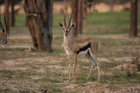 gazelle: Thomson Gazelle beautiful posing for a photograph