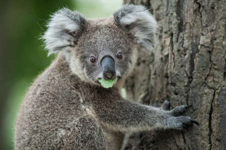 australian koala sit on tree, Sydney, NSW, australia. exotic iconic aussie mammal animal with infant in lush jungle rainforest Stock Photo
