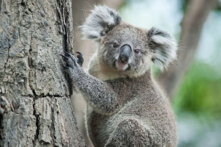 outback australia: australian koala sit on tree, Sydney, NSW, australia. exotic iconic aussie mammal animal with infant in lush jungle rainforest Stock Photo