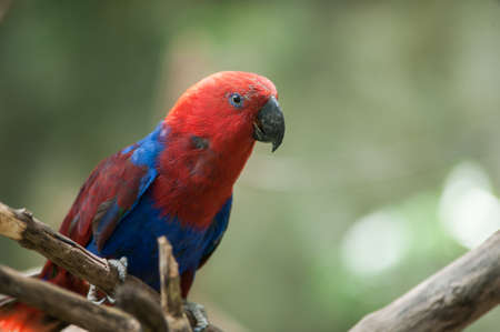 Chattering Lory on a bough photo