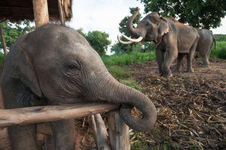 Thai Baby Elephant at Surin, Thailand