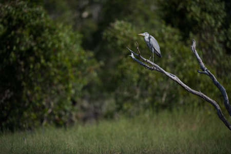 gray herons: Gray herons on fallen tree