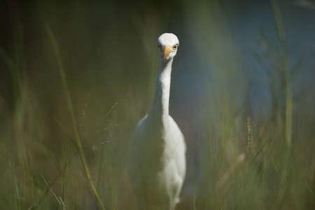 beine spreizen: Seitenansicht des Egret Detaillierte Gesichts