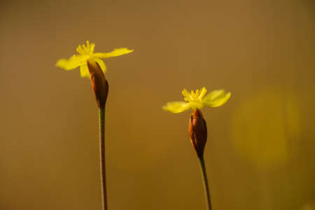 eriocaulaceae: Xyris yellow flowers in Thailand