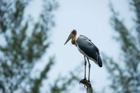 lesser: Lesser adjutant stork (Leptoptilos javanicus) in nature