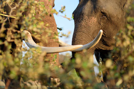 tusks: Portrait of this huge elephant with big tusks