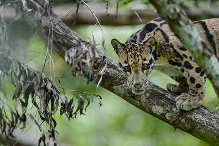 L�opard tachet� (Neofelis Nebulosa), le chat sauvage de la Tha�lande