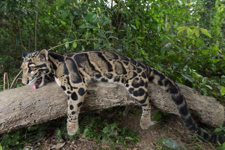 Clouded Leopard (Neofelis Nebulosa), wild cat of Thailand Stock Photo