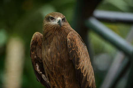 black kite: Black kite, Birds of Thailand Stock Photo