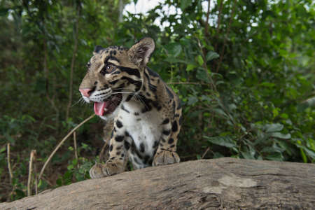 clouded leopard: Clouded Leopard (Neofelis Nebulosa), wild cat of Thailand Stock Photo