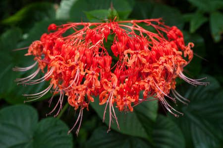 strelitzia: beautiful red flower. Stock Photo