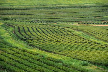 tea plantations: Green tea garden, hill cultivation