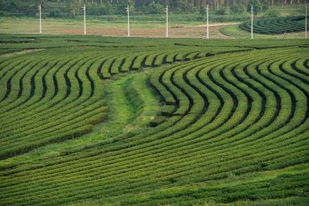 Green tea garden, hill cultivation