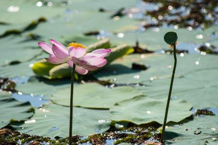 seedpod: lotus and seedpod in full bloom Stock Photo