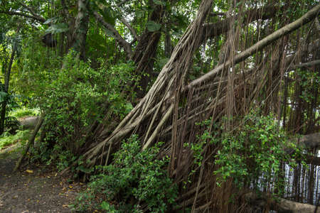strangler: Roots of a Baynan Tree or fig (Ficus Benghalensis)