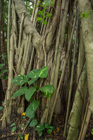 banian tree: Roots of a Baynan Tree or fig (Ficus Benghalensis)