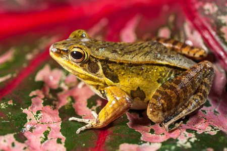 arboreal frog: Close-up of a wild frog perched on pink leaf