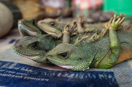 endangered species: Green dragon at rural market. Environmental problem of trade in endangered species