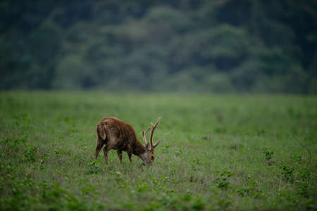 deer stand: Male hog deer stand alone on grassland, Thailand
