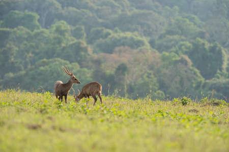 deer stand: Two Hog deer stand alone on grassland