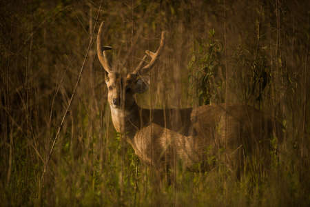 deer stand: Hog deer stand alone on grassland