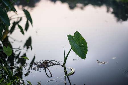 tropical native fern: Elephant Ears, a subtropical plant with heart-shaped leaves Stock Photo