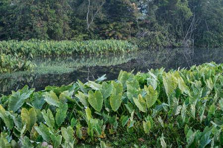 fern  large fern: Field of Green Elephant Ear Leaves (Colocasia)