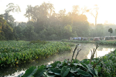 tropical native fern: Camping site on Green Elephant Ear Leaves (Colocasia) field, Khao yai national park, Thailand