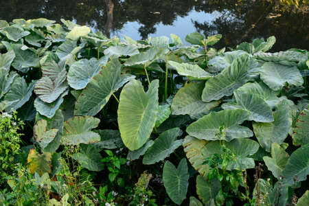 fern  large fern: Elephant Ears, a subtropical plant with heart-shaped leaves Stock Photo