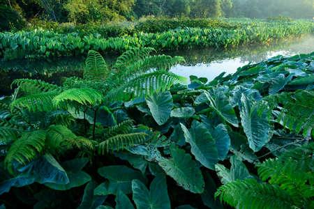 tropical native fern: Field of Green Elephant Ear Leaves (Colocasia)