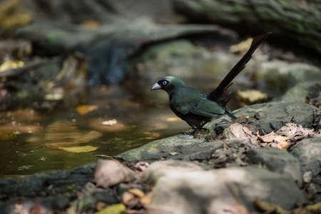 taking bath: Racket-tailed Treepie.(Crypsirina temia) taking bath and drinking water