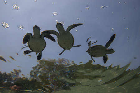 Baby sea turtle swims with water reflections underneath. Stock Photo