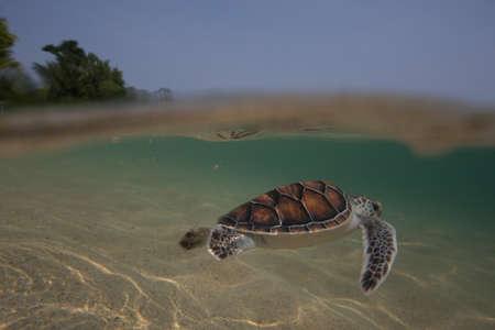 Sea turtle hatchlings being released to sea by Thai Royal Navy volunteer program. Sattahip, Thailand Stock Photo