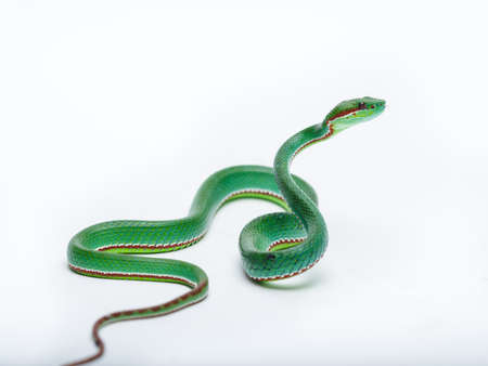 Trimeresurus popeiorum is a venomous pit viper species native to northern India, Southeast Asia, and parts of Indonesia. Three subspecies are currently recognized, including the nominate subspecies described here.