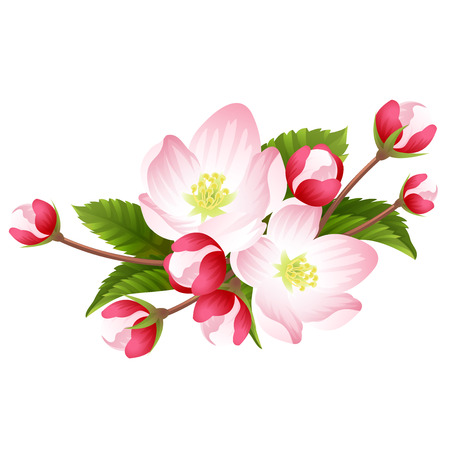 apple blossom: Pink apple blossom