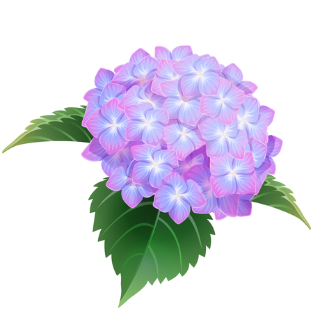 violet hydrangea ajisai flower illustration vector  イラスト・ベクター素材