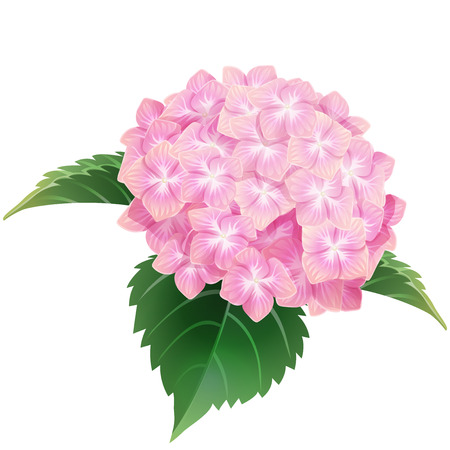 pink hydrangea ajisai flower illustration vector